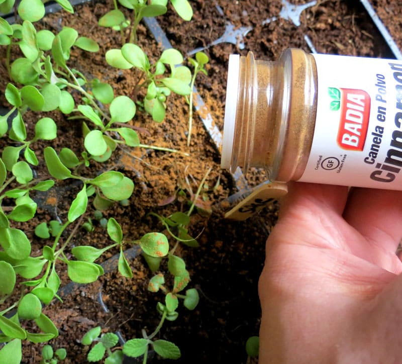 Корица предотвратит заболевания рассады, защитив корни растения от грибка