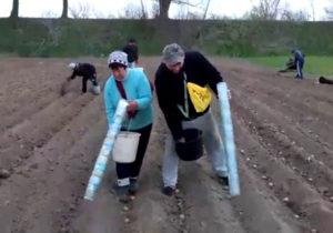 Высадка картофеля при помощи трубы из пластиковых бутылок