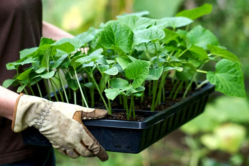 ФОТО: tepliepol.ru Подкармливать такими удобрениями можно как рассаду, так и взрослые растения