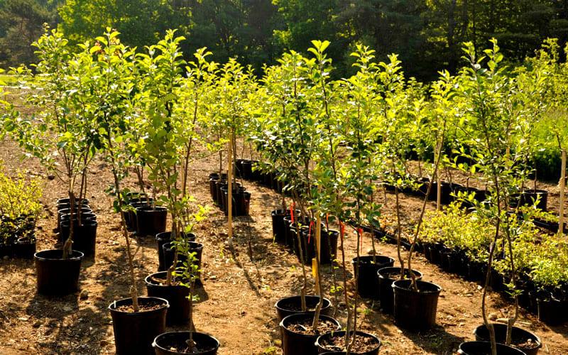 ФОТО: 4cs.ru Опытные садоводы утверждают – сколько лет было саженцу до посадки, столько он и будет болеть