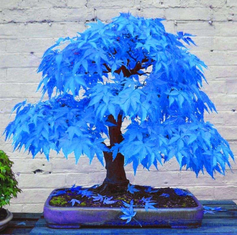 Синий бонсай