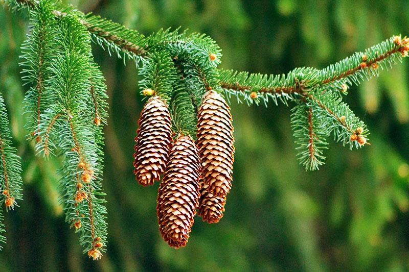 Еловые шишки, в отличие от сосновых, более вытянуты в длину