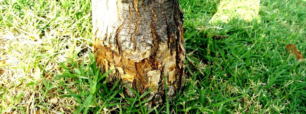 Как сделать, чтобы дерево быстро засохло