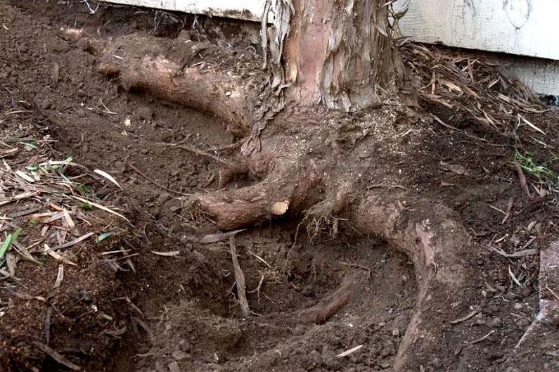 Дерево после воздействия препаратами, перестаёт быть прочным. Его может сломать даже порыв ветра