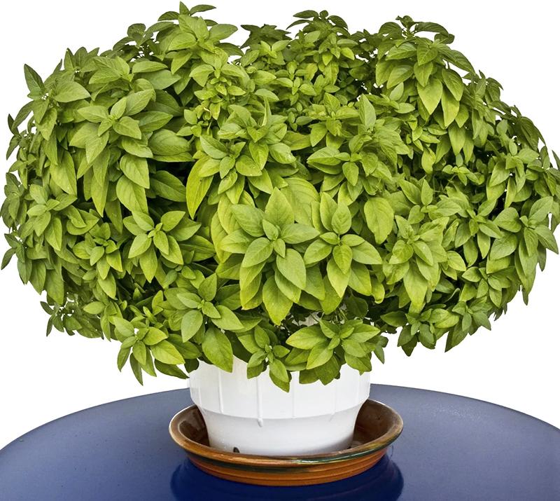 Растение будет продолжать свой рост, выпуская новые веточки