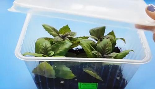 Лето на подоконнике: как самостоятельно вырастить базилик