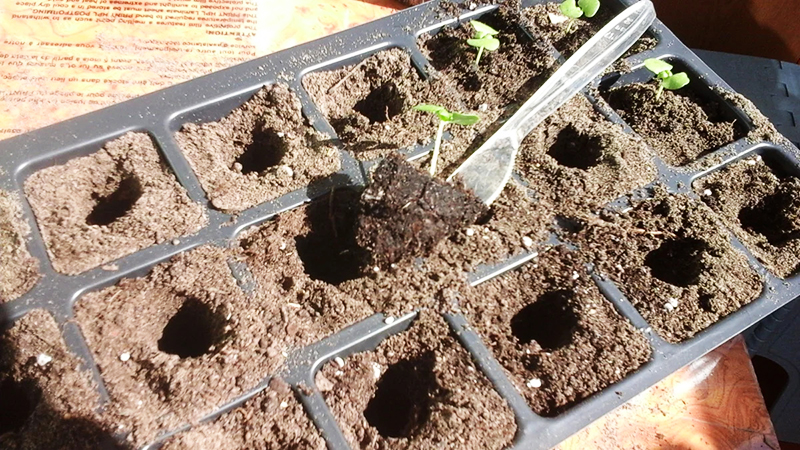 Процедура позволяет укрепить корневую систему, поспособствовав развитию боковых корешков. Растение готово к высадке в индивидуальный горшок
