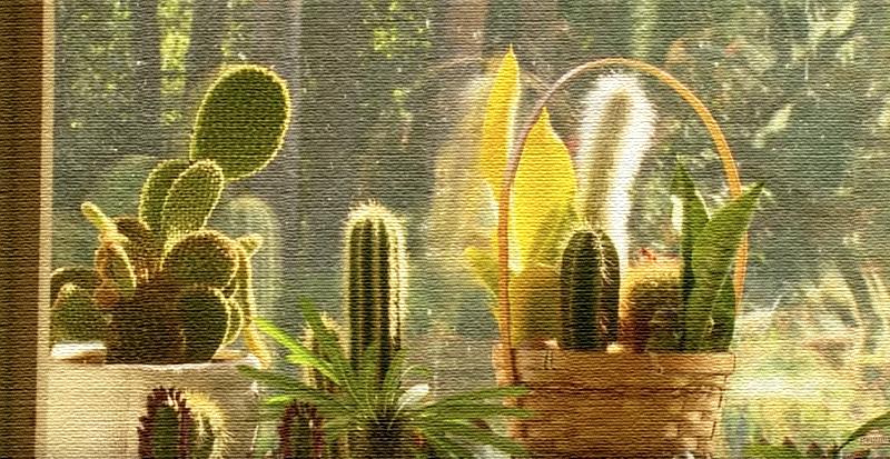 Климат в доме и постоянное солнышко положительно влияет на рост кактусов