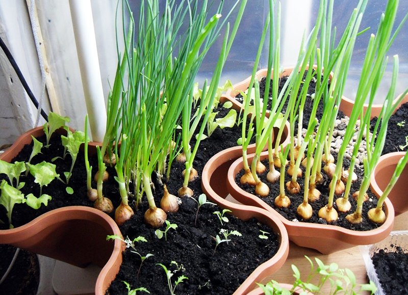 Если подобрать красивые кашпо, то ваш небольшой огородик станет украшением подоконника