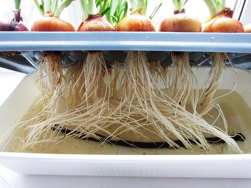 Как вырастить зелёный лук в домашних условиях: 4 доступных способа