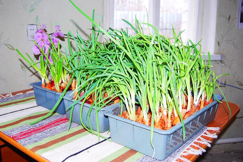 На урожай повлияет как низкая, так и высокая температура в помещении