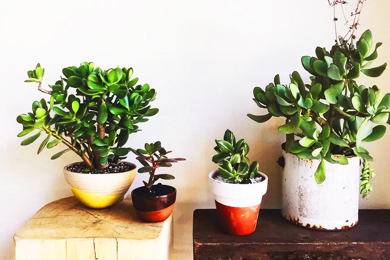 Денежные растения на подоконнике