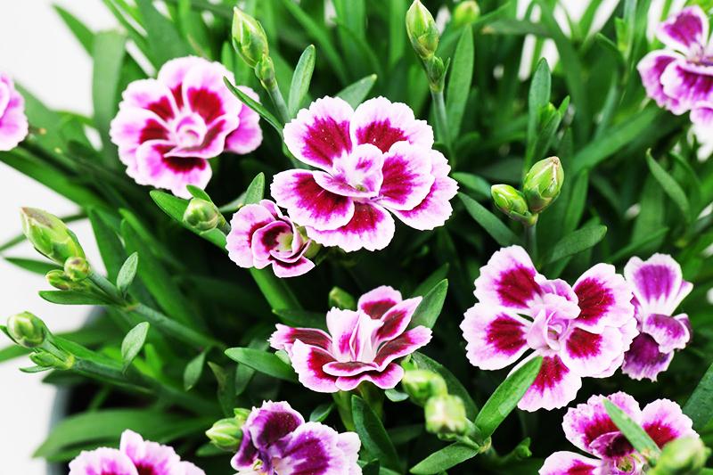 Гвоздика начинает пышно цвести к середине лета, а лучшее время для посадки – весна. Как только растение распустит цветы, и на нём появится пышная «шапка», можете ожидать финансовых успехов