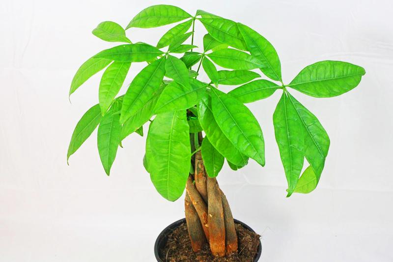 Чтобы растение не зачахло, необходимо регулярно опрыскивать его водой из пульверизатора, обеспечивать рассеянный свет и отсутствие прямых солнечных лучей