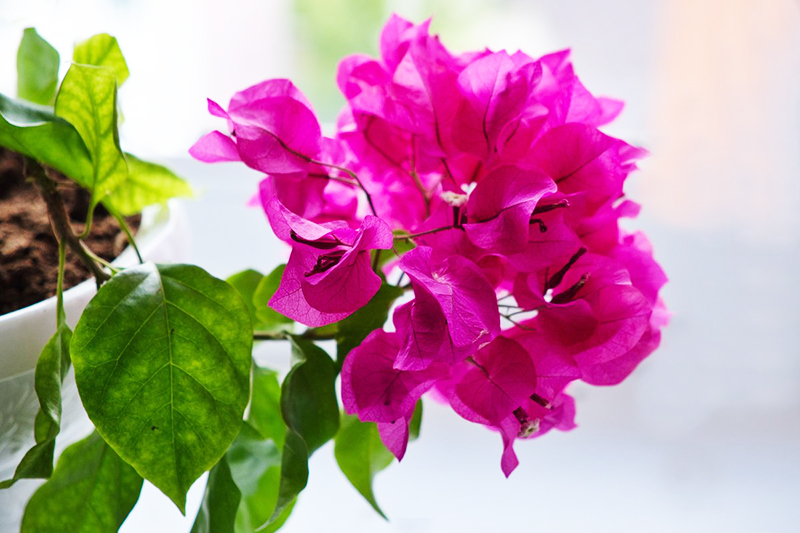В летний сезон, если вы замечаете, что растение тускнеет, устраивайте раз в месяц минеральные подкормки
