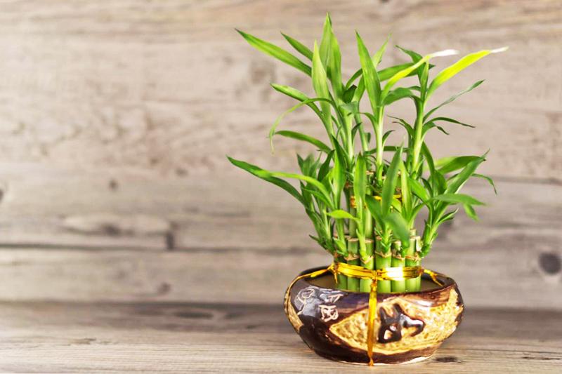 Чтобы бамбук хорошо рос, ставьте вазу или горшок с растением на восточное окно