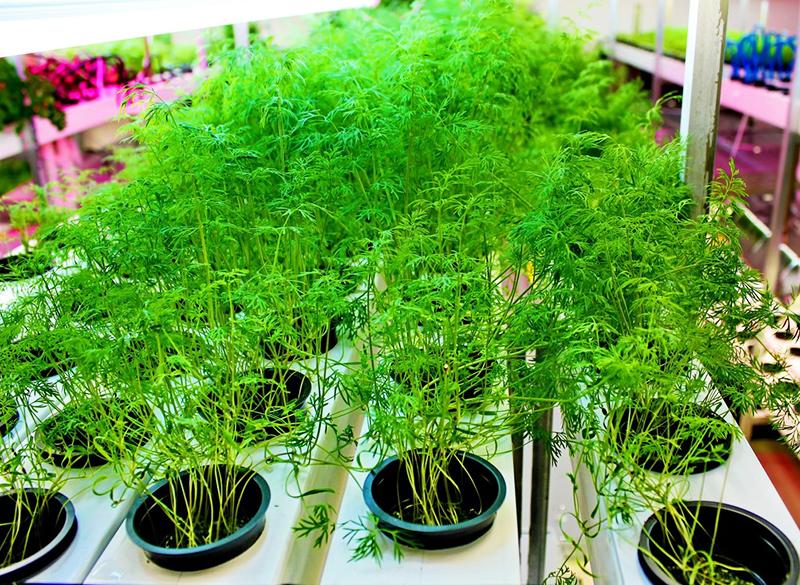 Выращивание укропа на гидропонике – это 100%-ный урожай