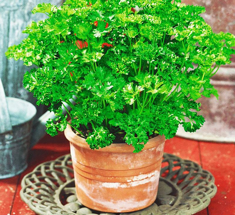 При правильном уходе вы всю зиму будете собирать урожай свежей зелени