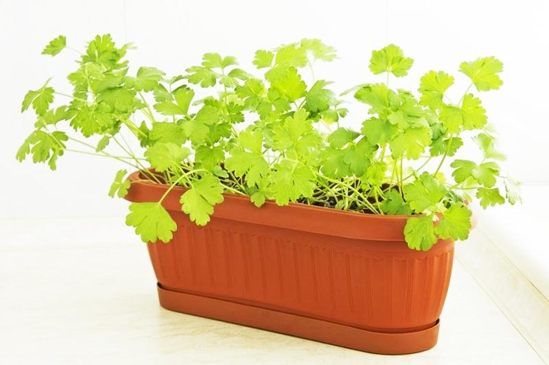 Для выращивания петрушки «на зелень» подойдёт любая ёмкость или ящик глубиной около 20 см