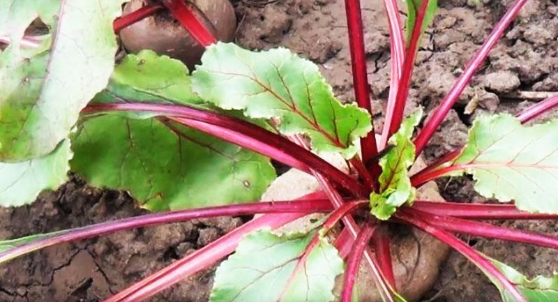 Свёклу сеют вдоль картофеля и томатов для борьбы с фитофторозом