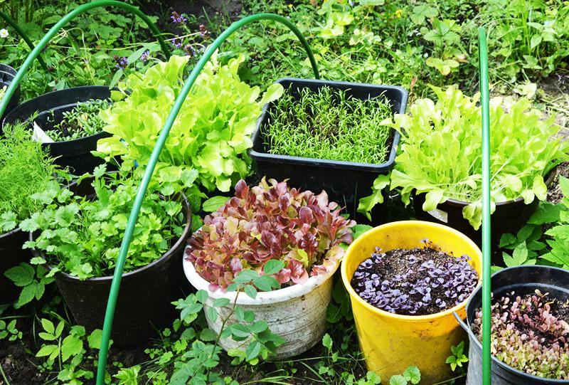 Мини-огород в отдельных ёмкостях