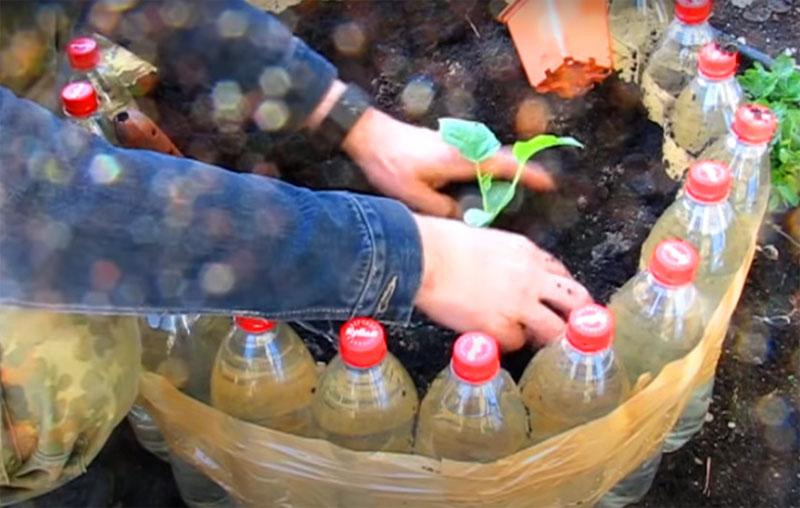 Посадите в грядку рассаду и на первое время накройте её прозрачным куполом из банок или тех же обрезанных «полторашек». Это позволит растениям быстро адаптироваться к новым условиям