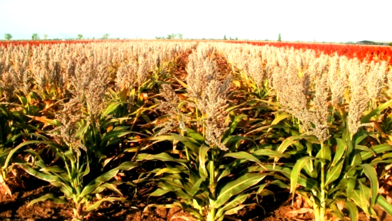 До посева семян можно обработать почву аммиачной селитрой и перед выбрасыванием метёлки провести антибактериальную защиту