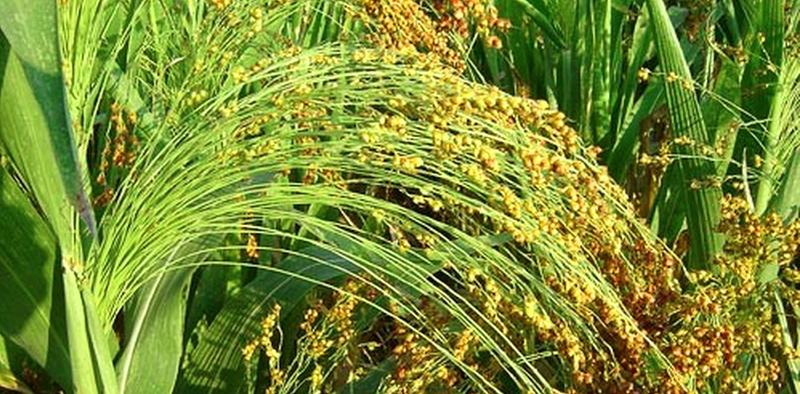 Самые качественные веники для подметания пола получаются из практически засохших на корню растений