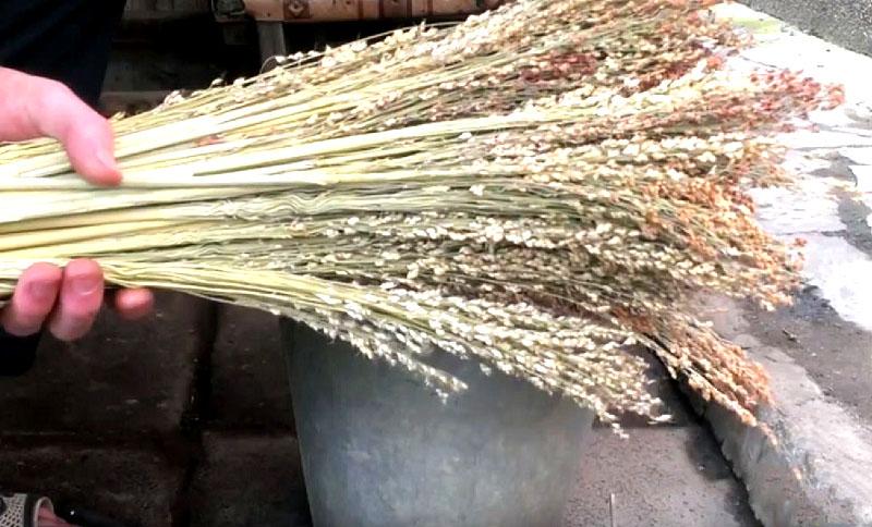 Высушенные метёлки веничного сорго
