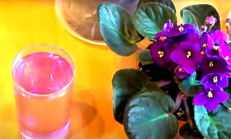 Марганцовку добавляют в воду, чтобы получить бледно-розовый раствор. Им и поливают грунт под цветами. Состав уничтожит кладки мошки