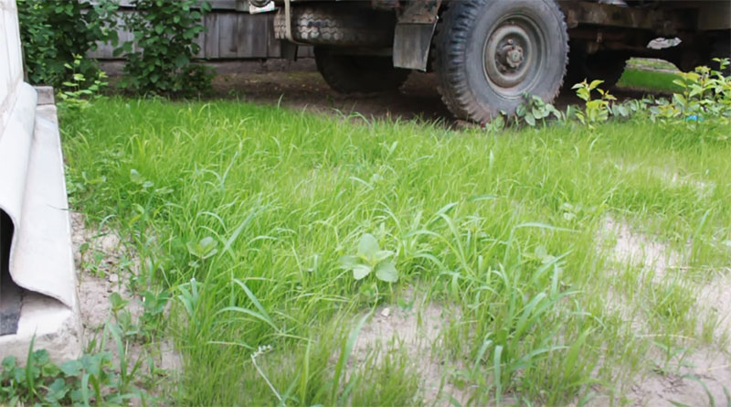 В зависимости от сорта, трава может стать такой уже через 2–3 недели
