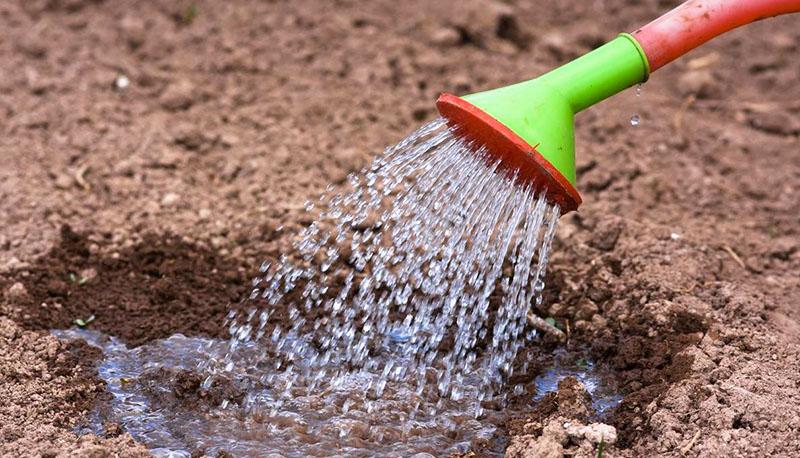 Причём минеральные удобрения нужно вносить не при посадке, а заранее, за пару недель. И тогда же желательно провести обеззараживание почвы раствором медного купороса: 40 г на 10 л