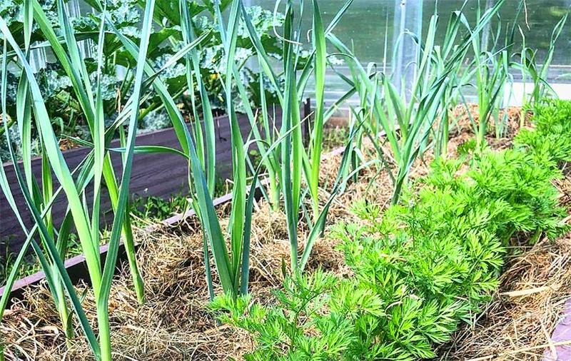 А по весне в междурядьях чеснока можно посадить петрушку или сельдерей
