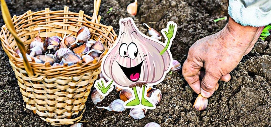 Как правильно посадить озимый чеснок