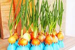 Наука садовода – как успеть вырастить зелень к Новому году