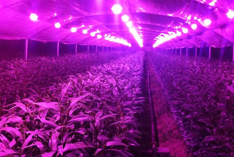 А вот красный спектр помогает развивать мощную корневую систему и стимулирует саженцы к цветению и плодоношению