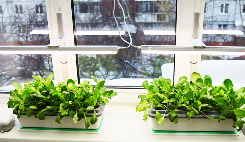 Чтобы растениям было комфортно, лампу ставят на высоте 25-30 см от рассады и поднимают её по мере роста саженцев