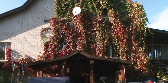 Одна сторона дома увита девичьим виноградом